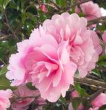 二重开花的sasanqua 免版税库存图片