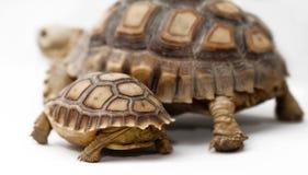 二非洲被激励的草龟(Sulcata) 图库摄影