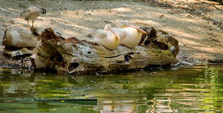 二鹈鹕 免版税图库摄影