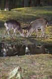 二头幼小sika鹿 免版税图库摄影