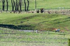 二头母牛在牧场地 库存照片