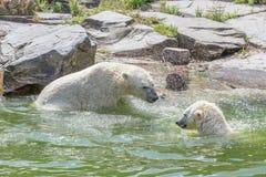 二头熊在水中 库存图片