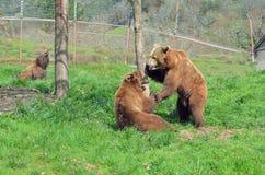二头熊战斗 免版税库存图片