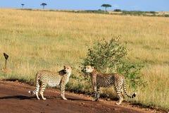 二头猎豹 免版税库存图片