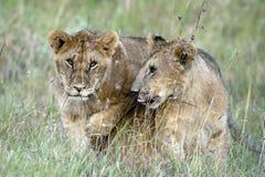 二头逗人喜爱的幼小狮子 免版税库存照片