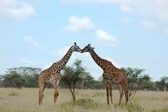 二头长颈鹿亲吻 免版税库存图片