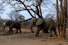 二头非洲大象 库存照片