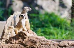 二Meerkat坐监视的岩石 库存照片