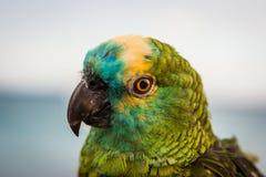于眼睛集中的绿色五颜六色的鹦鹉 Lanzarote,加那利群岛,西班牙 免版税库存图片