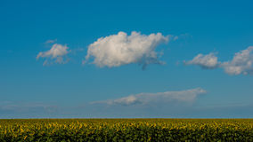 云彩和一个开花的向日葵的领域在8月 免版税库存图片