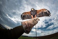 云彩和黑暗的天空与鸷以鹰狩猎者手套 库存照片
