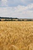 云彩黑麦天空麦子 库存图片