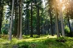 云杉云杉属在常青具球果森林里受苦生长在猫头鹰山风景公园, Sudetes,波兰 免版税库存照片