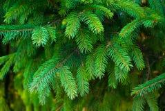 云杉五颜六色的绿色分支照片以高清晰 免版税库存照片