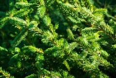 云杉五颜六色的绿色分支照片  免版税库存图片