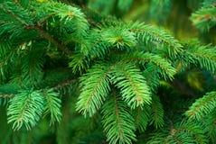 云杉五颜六色的绿色分支特写镜头照片  免版税库存图片