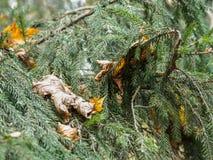 云杉和下落的叶子分支在分支的 免版税库存照片
