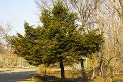 云杉在公园 免版税库存图片
