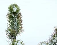 云杉在冬天6 免版税图库摄影