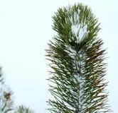 云杉在冬天3 免版税库存图片