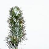 云杉在冬天4 库存图片