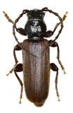 黑云杉在白色背景的长角牛甲虫 库存图片
