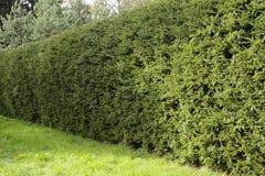 云杉坚实绿色树篱  免版税库存照片