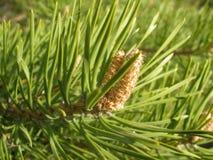 云杉小树枝与一个锥体的在乌拉尔森林里 库存图片