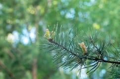 云杉小树枝与年轻锥体的,在绿色背景 免版税库存照片