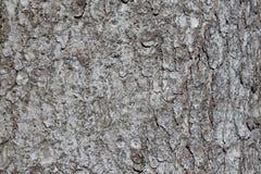 云杉属树皮纹理受苦或与美好的概略的样式的欧洲云杉 免版税库存图片