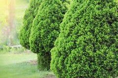 云杉属glauca Conica矮小的装饰具球果常青树 亦称加拿大人,臭鼬,猫,黑山 免版税图库摄影