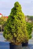 云杉属glauca Conica矮小的装饰具球果常青树 库存图片