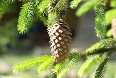 云杉或杉木绿色多刺的分支和在fu的杉木锥体 免版税库存照片