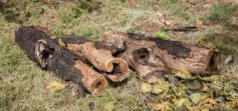 云杉木材采伐 库存图片