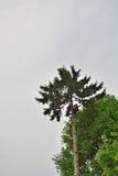 云杉的专业伐木工人锯切日志 免版税库存照片