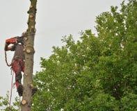 云杉的专业伐木工人锯切日志 库存图片