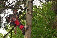 云杉的专业伐木工人锯切日志 免版税库存图片