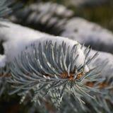 云杉的冬天 免版税库存照片