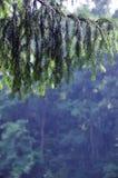 云杉的分支与雨珠的 库存图片