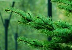 云杉的分支在公园 库存照片