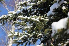 云杉的分支在冬天 免版税库存照片