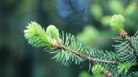云杉的分支在春天在纳尔奇克公园地区  免版税库存照片