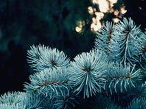 云杉的分支在森林里 库存照片