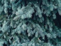 云杉的分支在森林里 库存图片