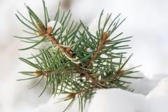 云杉的分支在雪森林里 图库摄影