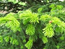 云杉的分支年轻鲜绿色 库存照片