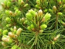 云杉的分支用新鲜的新芽 库存图片