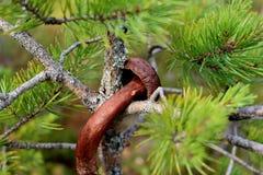 云杉的刺围拢的小棕色蘑菇特写镜头  背景美好的绿色本质 免版税库存图片