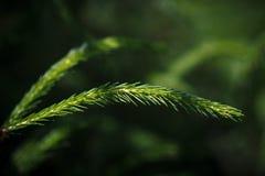 云杉的小树枝 免版税图库摄影