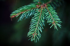 云杉的小树枝 库存图片